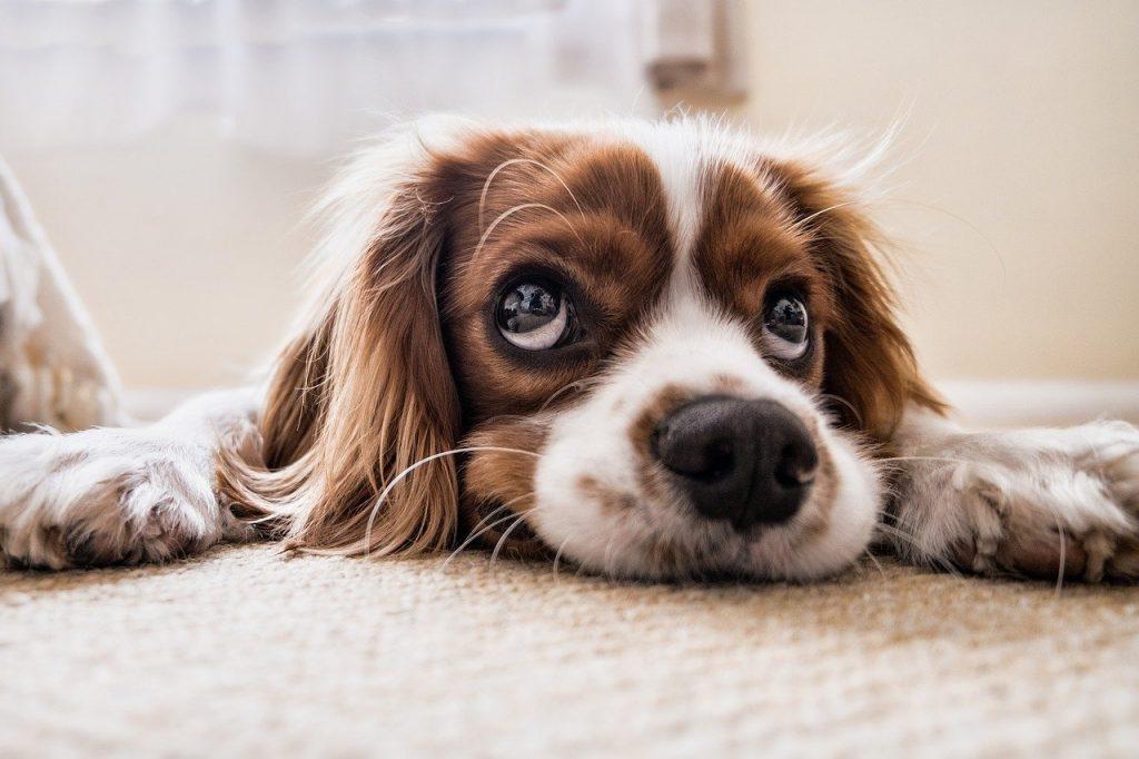 image augumentation dog